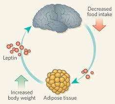 leptinhormonhatása