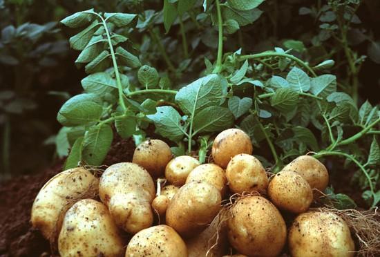 génmódosított burgonya