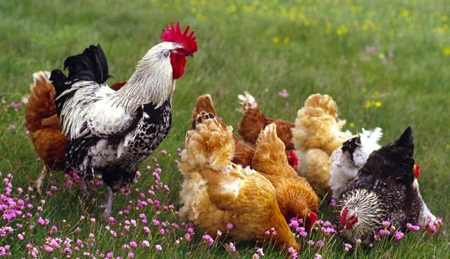 szabadon tartott csirke
