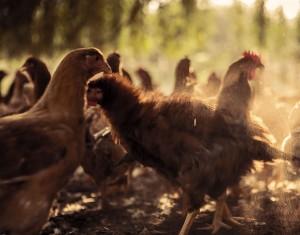 tanyasi csirke
